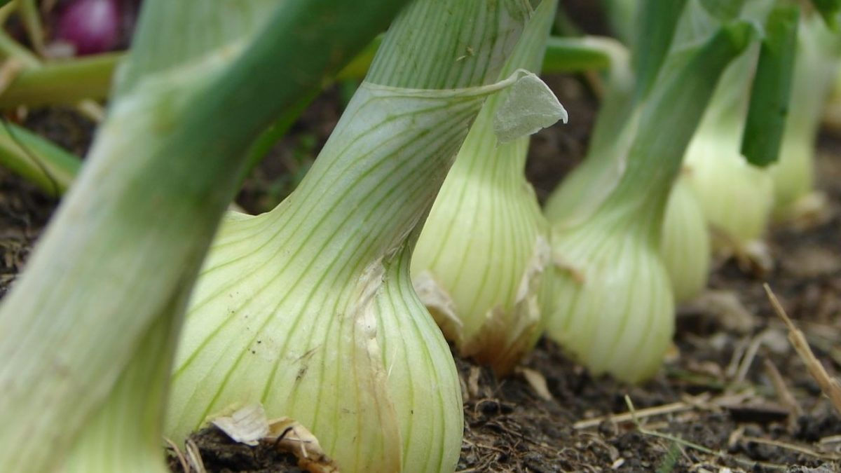 onions for your health