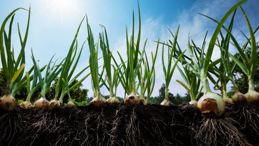 learn more about furrow irrigating your onion beds