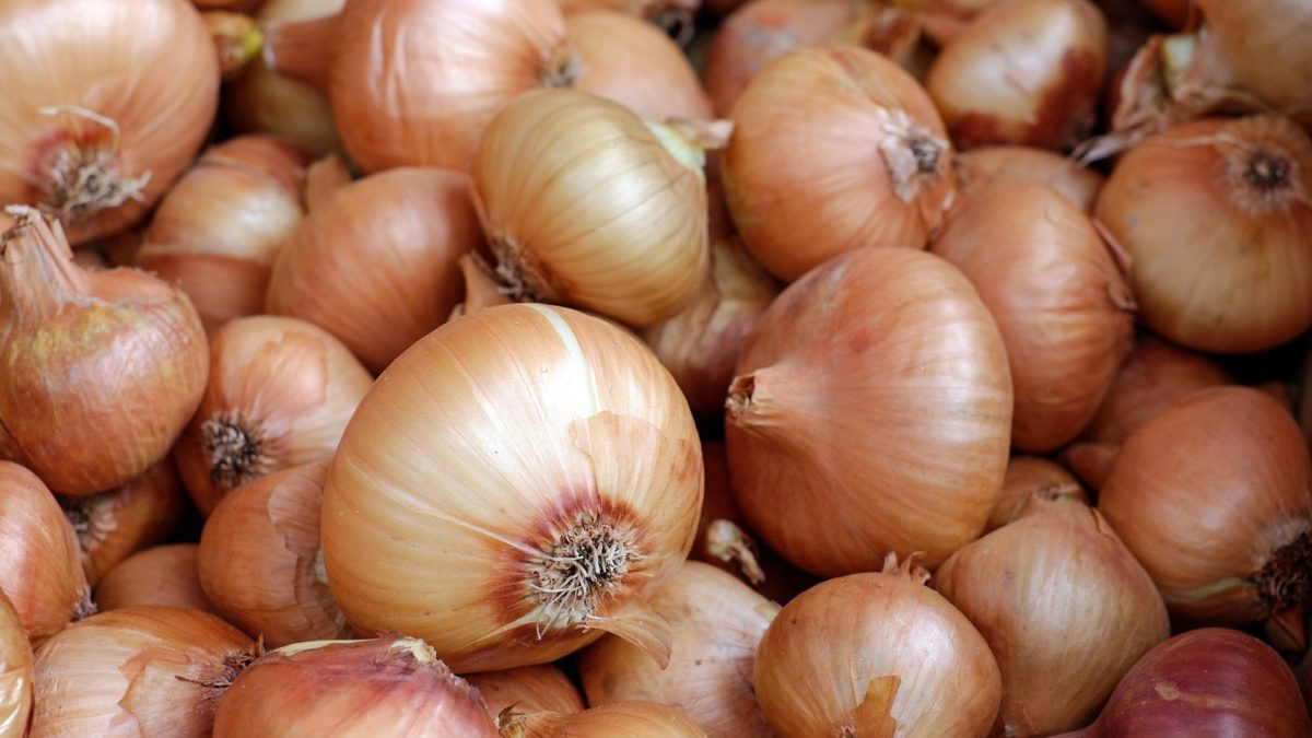 fresh harvested onions